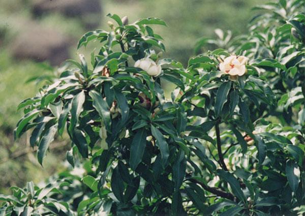 cây gỗ vàng tâm